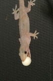 Asian Gecko - Carrying egg