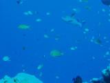 North Horn Osprey Reef  & Shark feed day 2 (20)