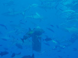 North Horn Osprey Reef  & Shark feed day 2 (30)