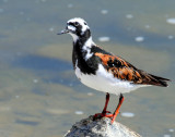 Turnstone, Ruddy (May 3, 2013)