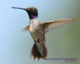 Hummingbirds, Black-chinned