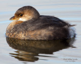 Grebe Pied-billed D-001.jpg