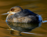 Grebe Pied-billed D-006.jpg