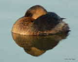 Grebe Pied-billed D-013.jpg