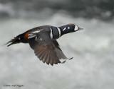 Duck Harlequin D-041.jpg