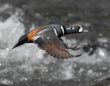 Duck Harlequin D-054.jpg