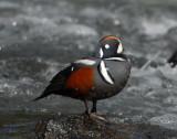 Duck Harlequin D-058.jpg