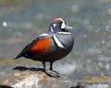 Duck Harlequin D-030.jpg
