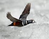 Duck Harlequin D-050.jpg