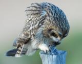 Owl Shot-eared D-043.jpg