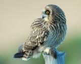 Owl Shot-eared D-044.jpg