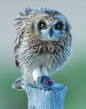 Owl Shot-eared D-049.jpg