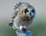 Owl Shot-eared D-050.jpg