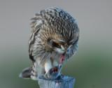 Owl Shot-eared D-051.jpg
