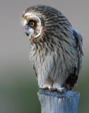 Owl Shot-eared D-058.jpg