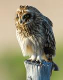 Owl Shot-eared D-063.jpg