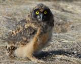 Owl Short-eared D-065.jpg
