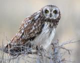 Owl Shot-eared D-021.jpg