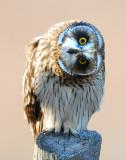 Owl Shot-eared D-036.jpg