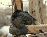 Turkey Merriams D-031.jpg