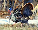 Turkey Merriams D-027.jpg