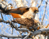 Hawk Red-tailed D-025.jpg