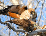 Hawk Red-tailed D-026.jpg