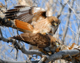 Hawk Red-tailed D-027.jpg