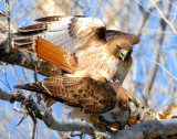 Hawk Red-tailed D-028.jpg