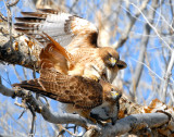 Hawk Red-tailed D-029.jpg