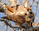 Hawk Red-tailed D-031.jpg