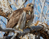 Hawk Red-tailed D-035.jpg