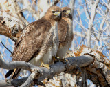 Hawk Red-tailed D-036.jpg