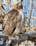 Hawk Red-tailed D-039.jpg