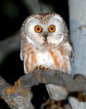Owl Northern Saw-whetD-002.jpg