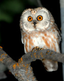 Owl Northern Saw-whetD-003.jpg