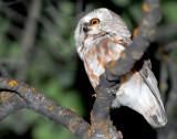 Owl Northern Saw-whetD-004.jpg