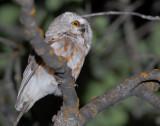 Owl Northern Saw-whetD-004A.jpg