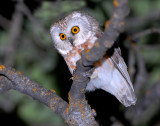 Owl Northern Saw-whetD-005.jpg