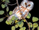 Owl Northern Saw-whetD-006.jpg