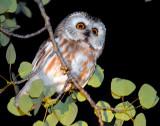 Owl Northern Saw-whetD-007.jpg