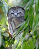 Owl Northern Saw-whetD-009.jpg
