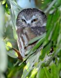 Owl Northern Saw-whetD-011.jpg