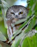 Owl Northern Saw-whetD-012.jpg
