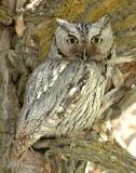 Owl, Western Screech