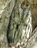 Owl Western Screech D-001.jpg