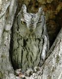 Owl Western Screech D-002.jpg