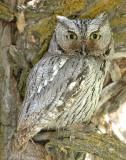 Owl Western Screech D-008.jpg