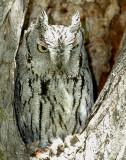 Owl Western Screech D-012.jpg