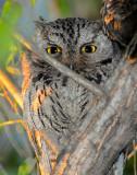 Owl Western Screech D-020.jpg